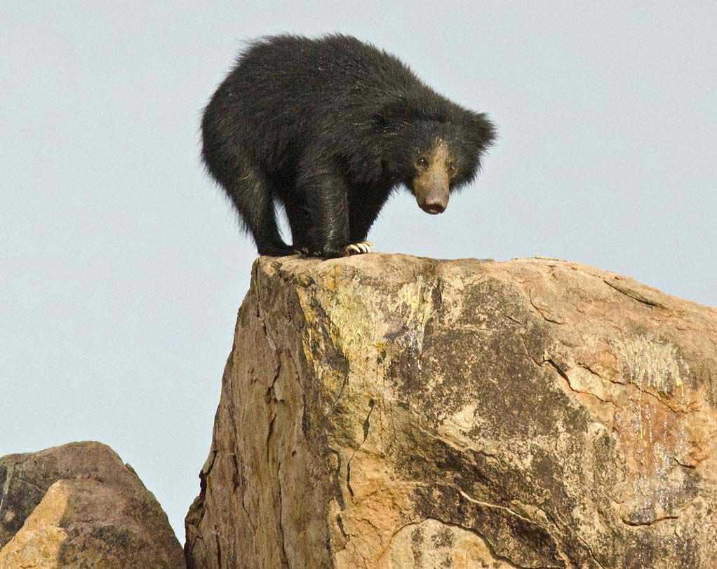 A lone female bear.