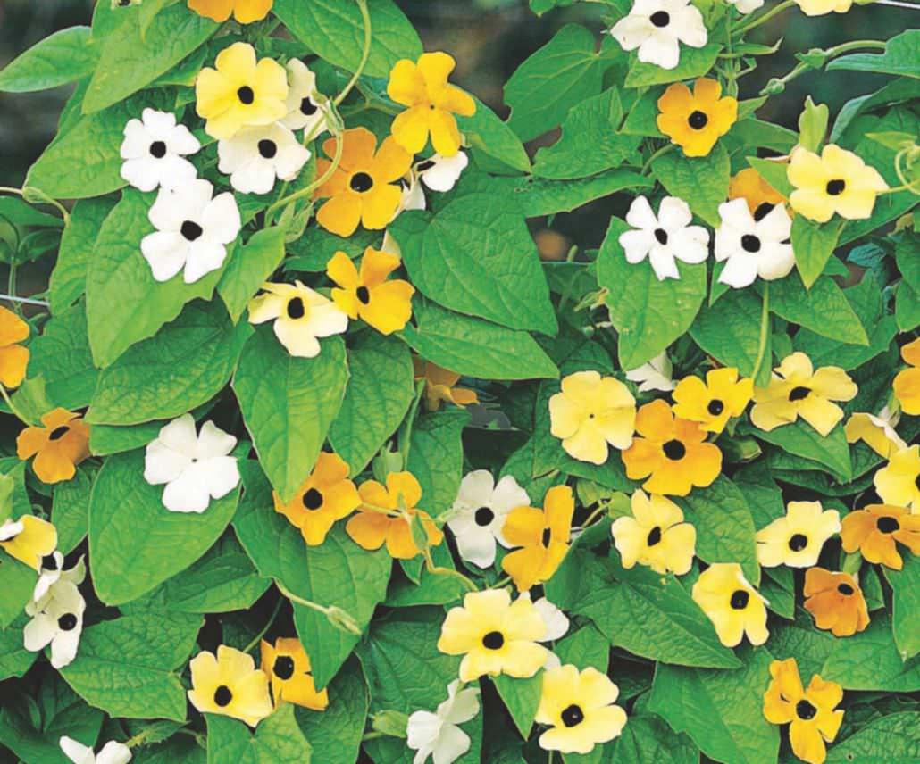 Fothergills Black Eyed Susan Susie Mixed Flower Seeds Mr