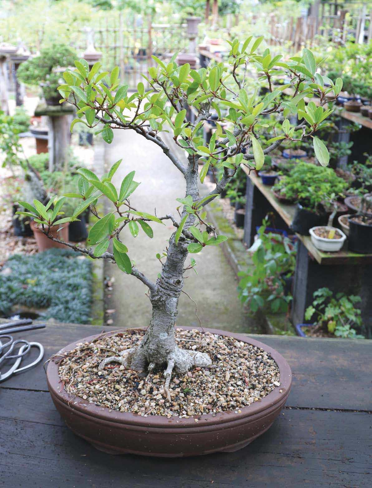 Repotting Bonsai