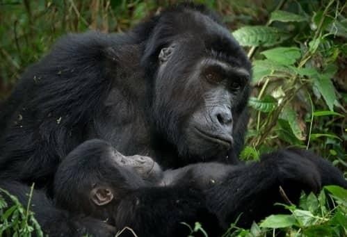 Meet The Majestic Mountain Gorillas