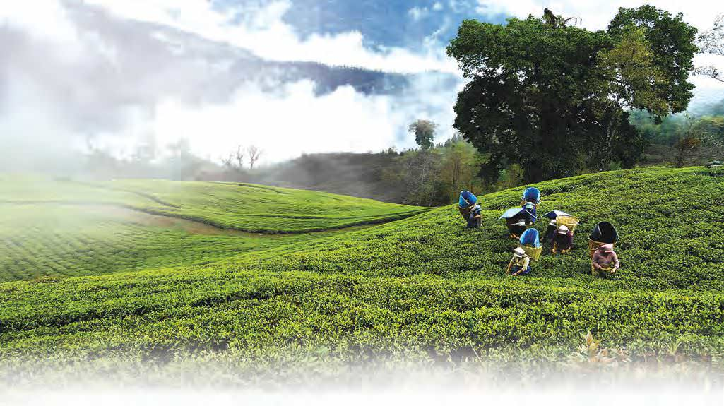 Temi Tea Tourism - Travels And Tales From South Sikkim