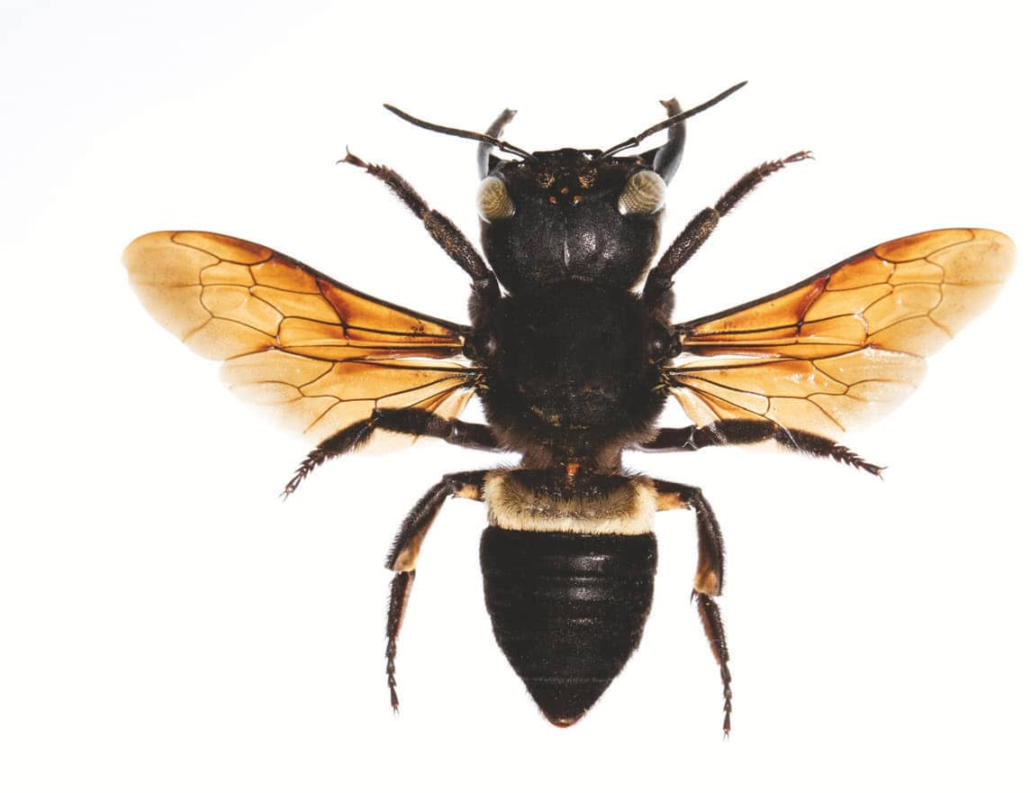 This Is the World's Biggest Bee