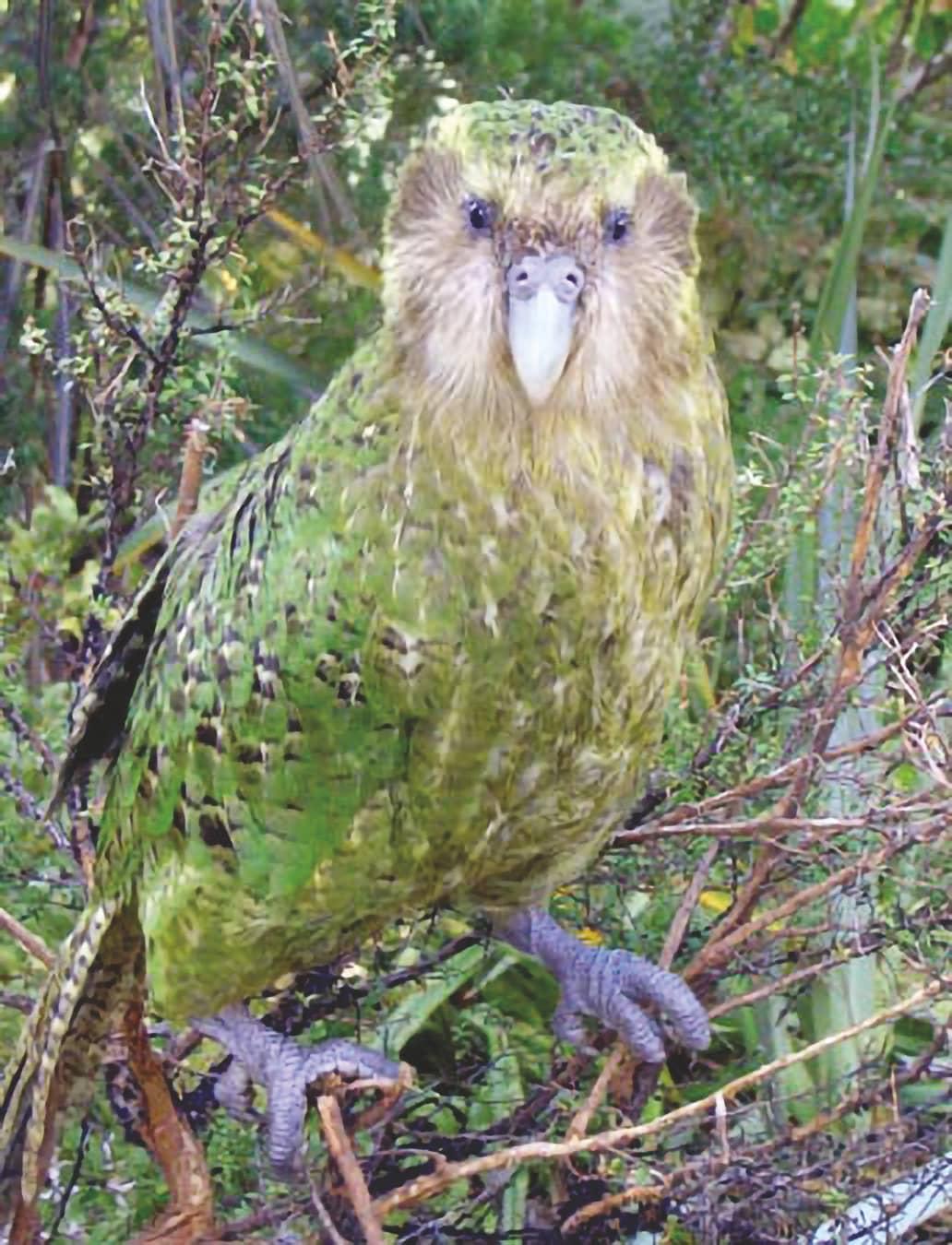 The Swimming Kakapo
