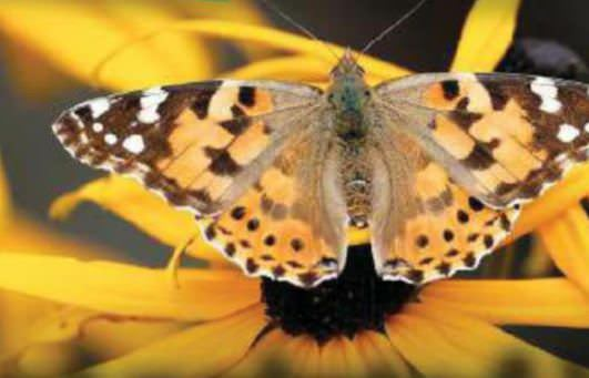 Spot Painted Ladies Before They Go South