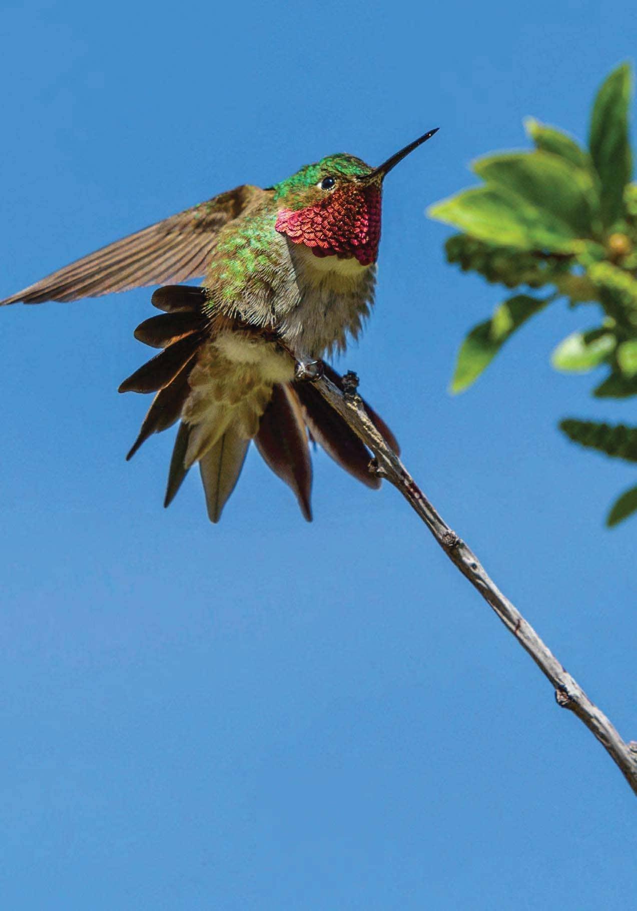 The Mountain Hummingbird