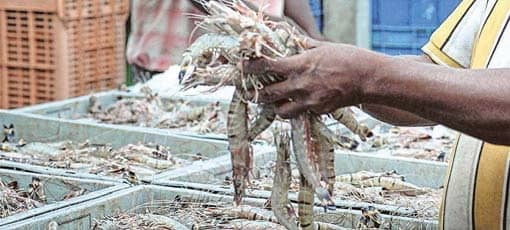 US Restrictions Continue To Hit Exports Of Wild-Caught Shrimps