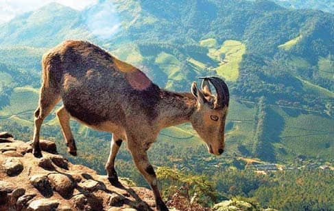 Nilgiri Tahr's Population Up 27% In Three Years