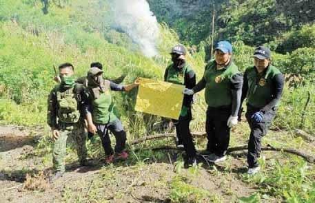 ₱13.9-Million Marijuana Plants Uprooted In Kalinga