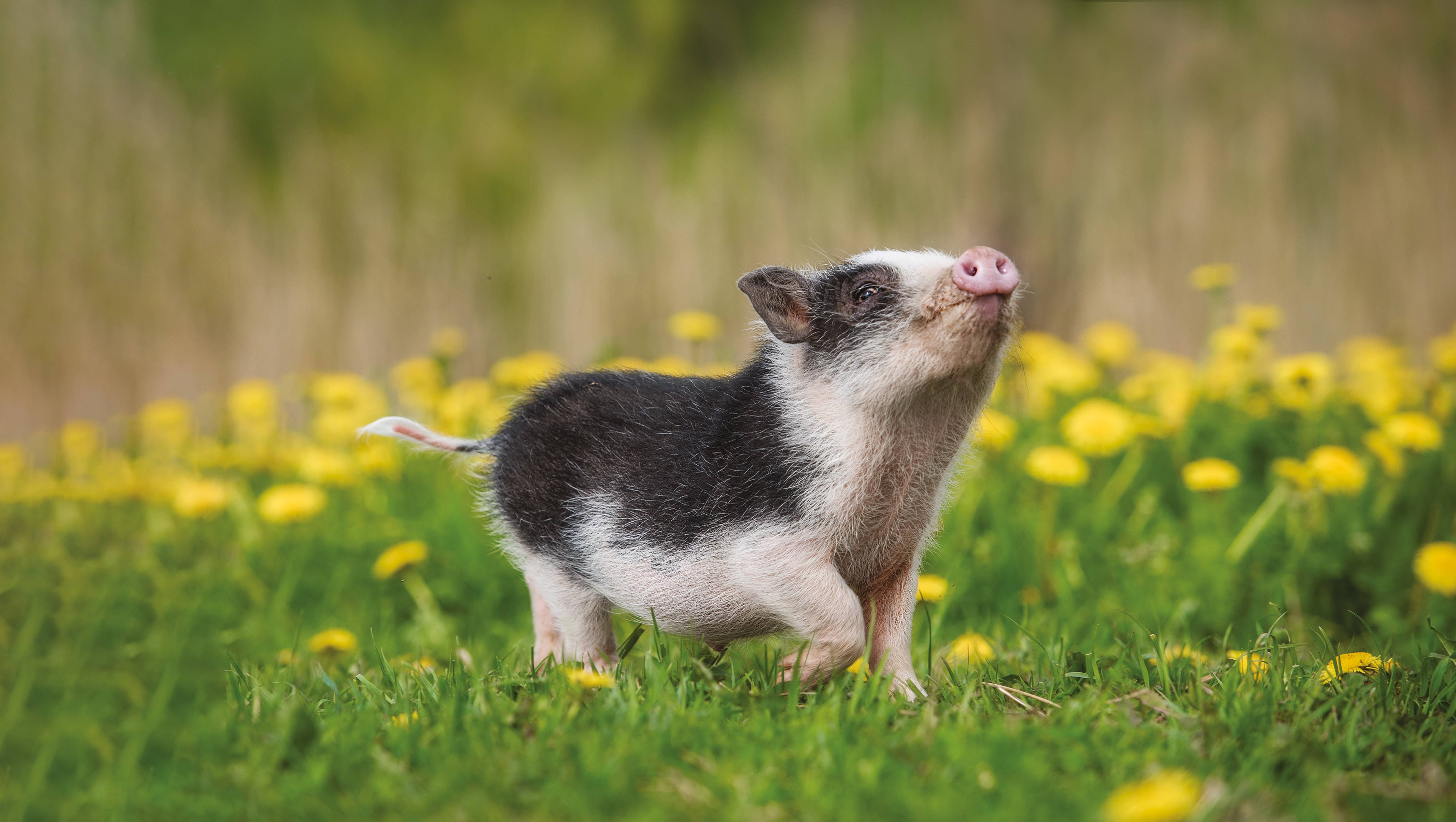 Buying A Pig In A Poke?