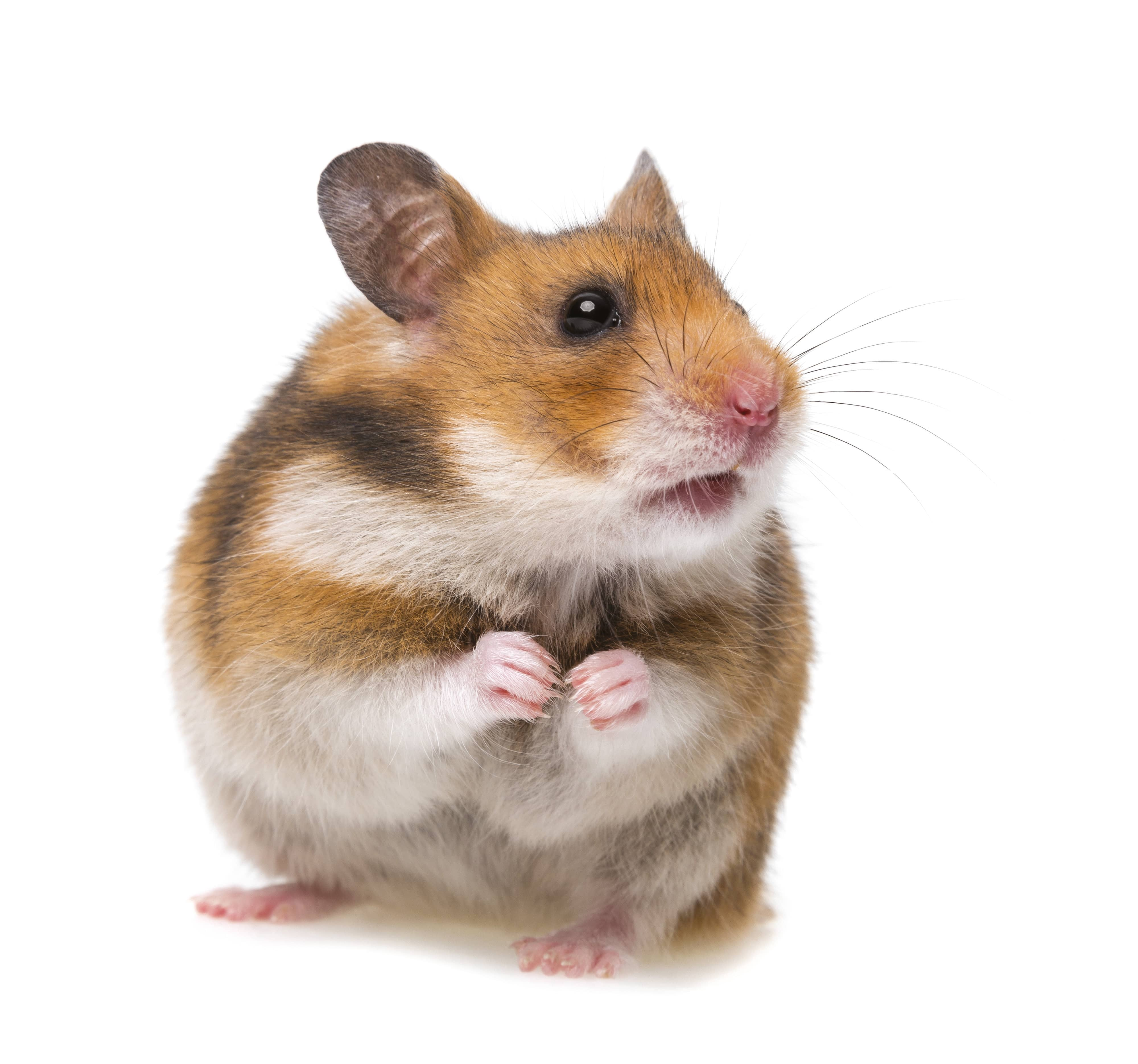 Keeping A Happy Hamster