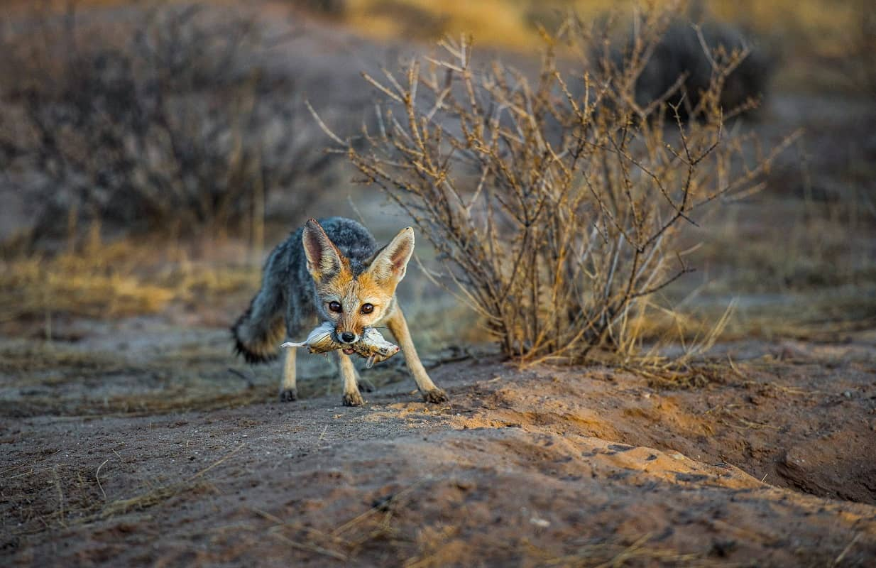 Why The Kgalagadi Is King