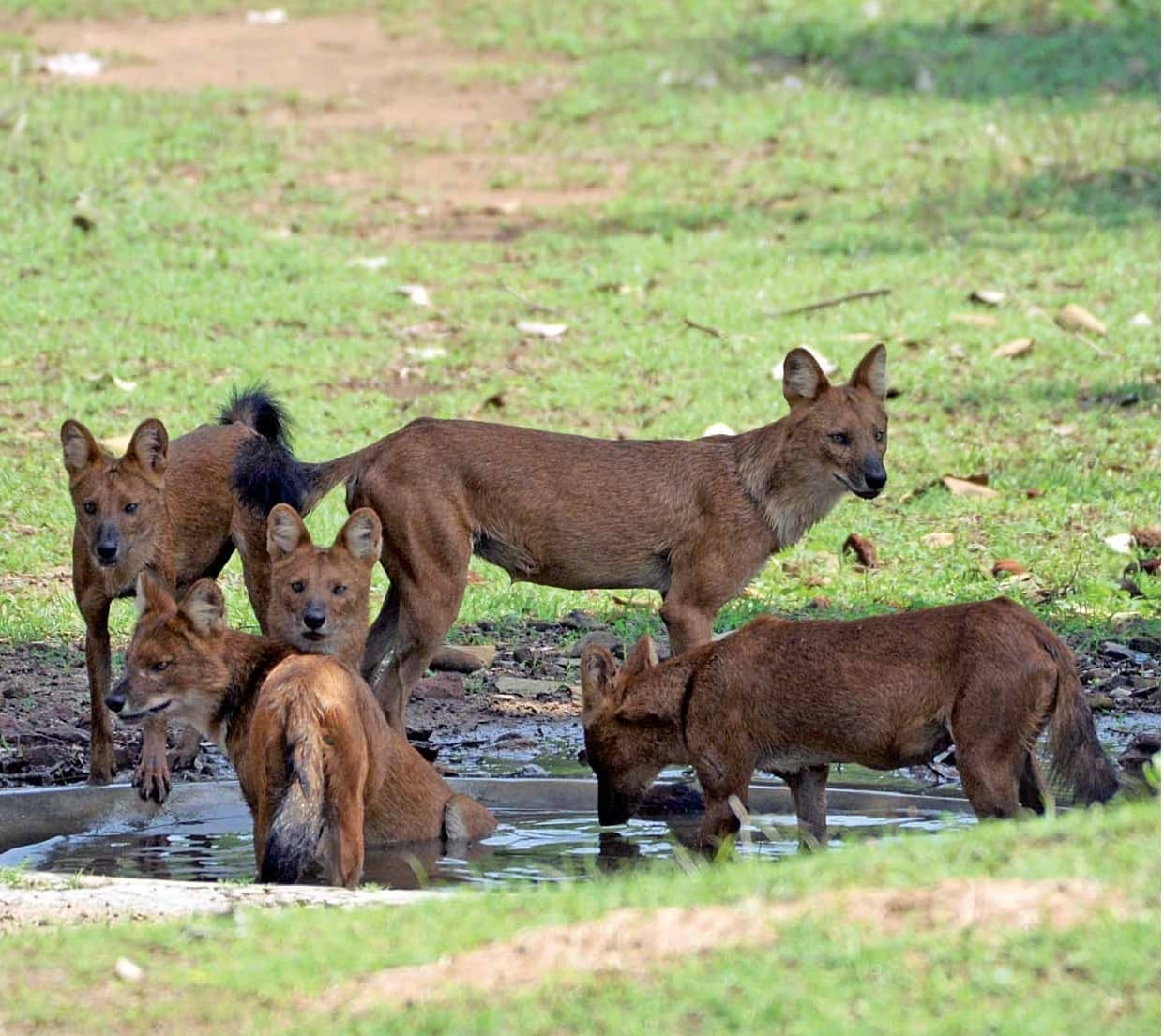 The Dhole: Up-close