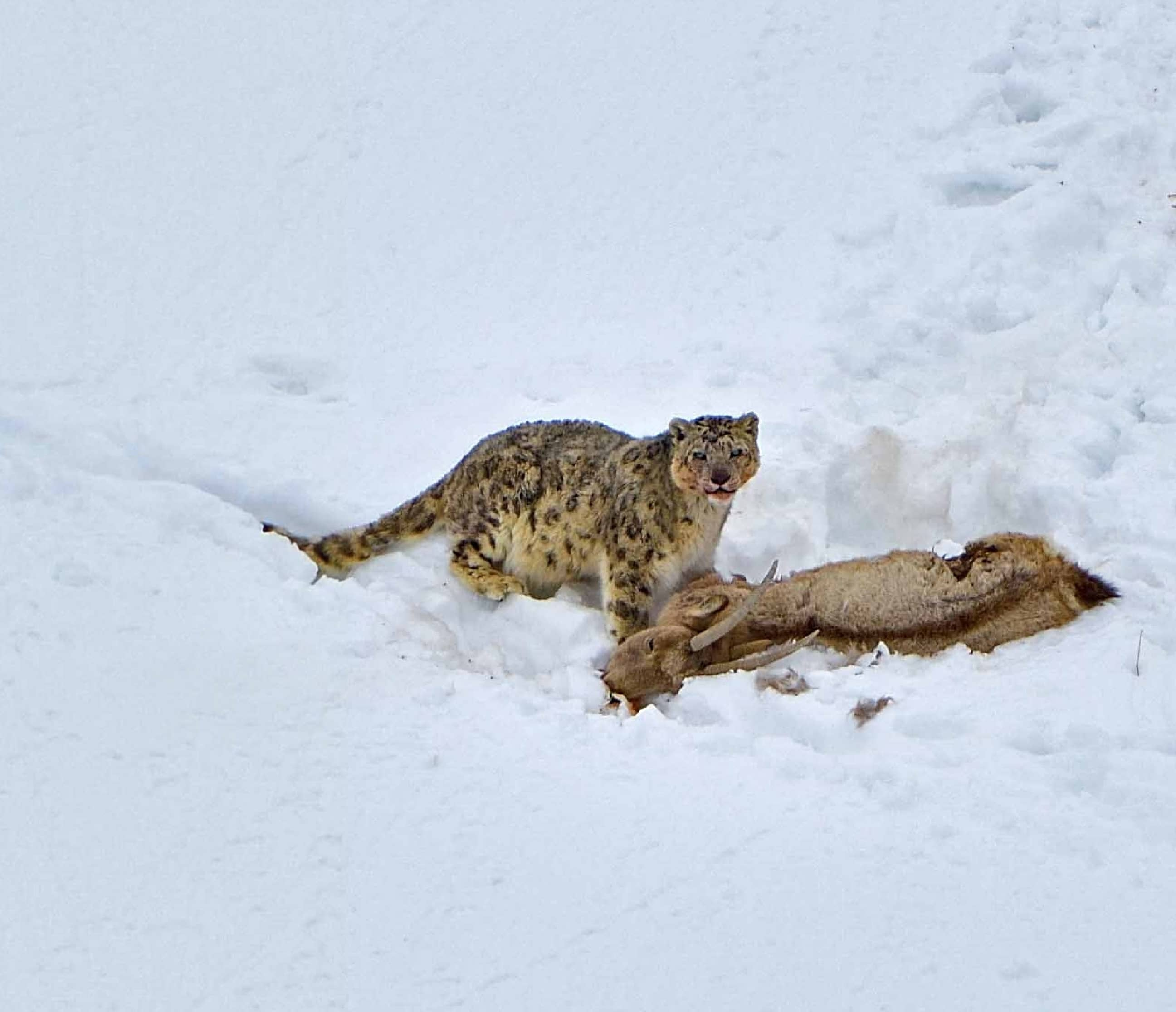 Land Of The Snow Leopard