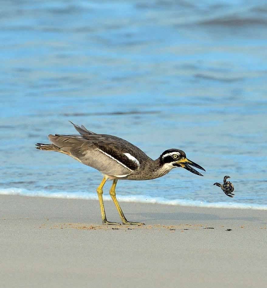 A Beach Thick-Knee And A Crab