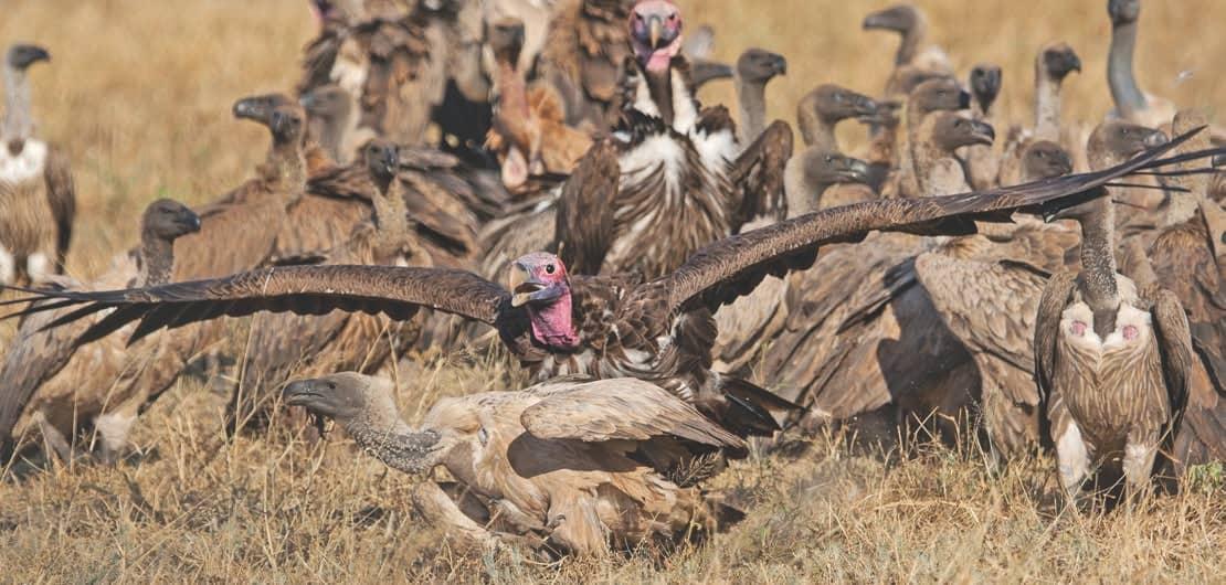 Conservation: The Endangered Vultures