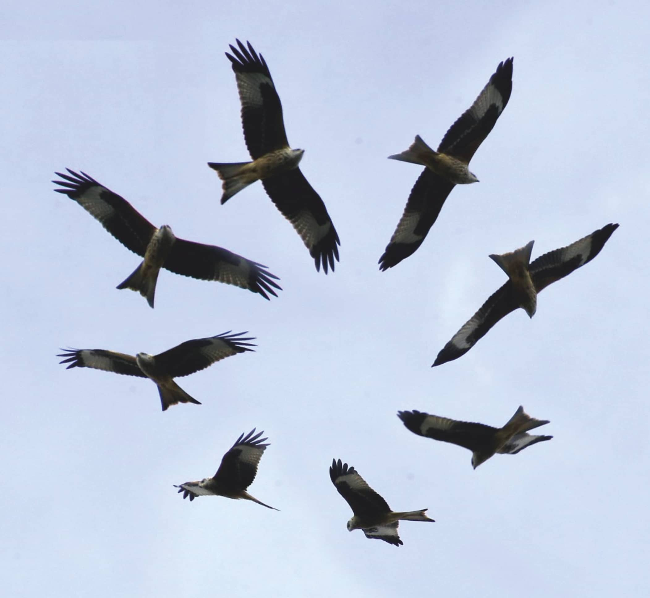 Why Do Eagles Fly In Circles?