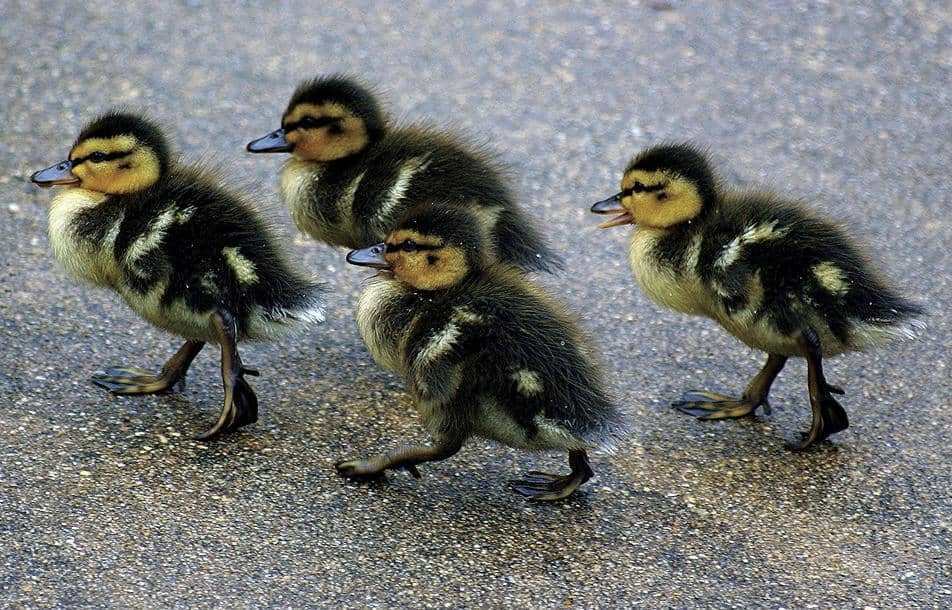 Foul Creep Deliberately Runs Over Ducklings!