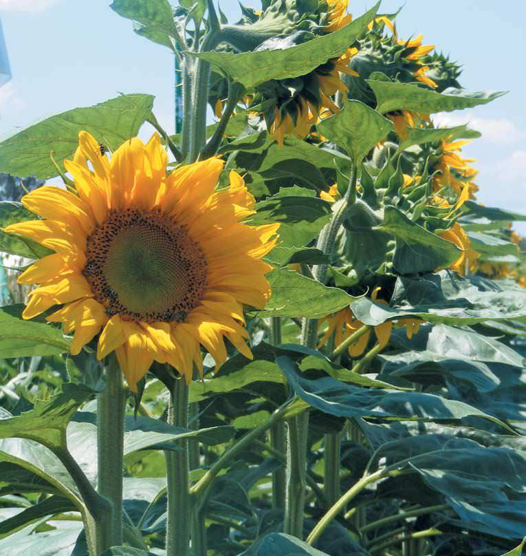 Maize Farmers Likely To Switch To Sunflower In 2018