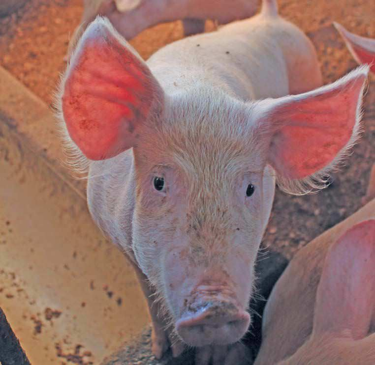 A Promising Future For Pork Producers