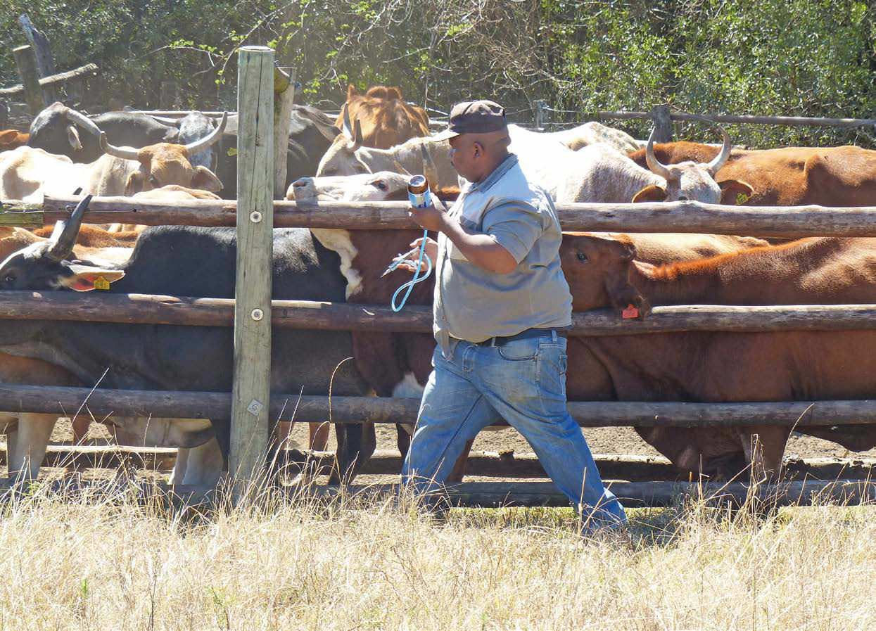 Beef Farming As Part Of A Broader Business