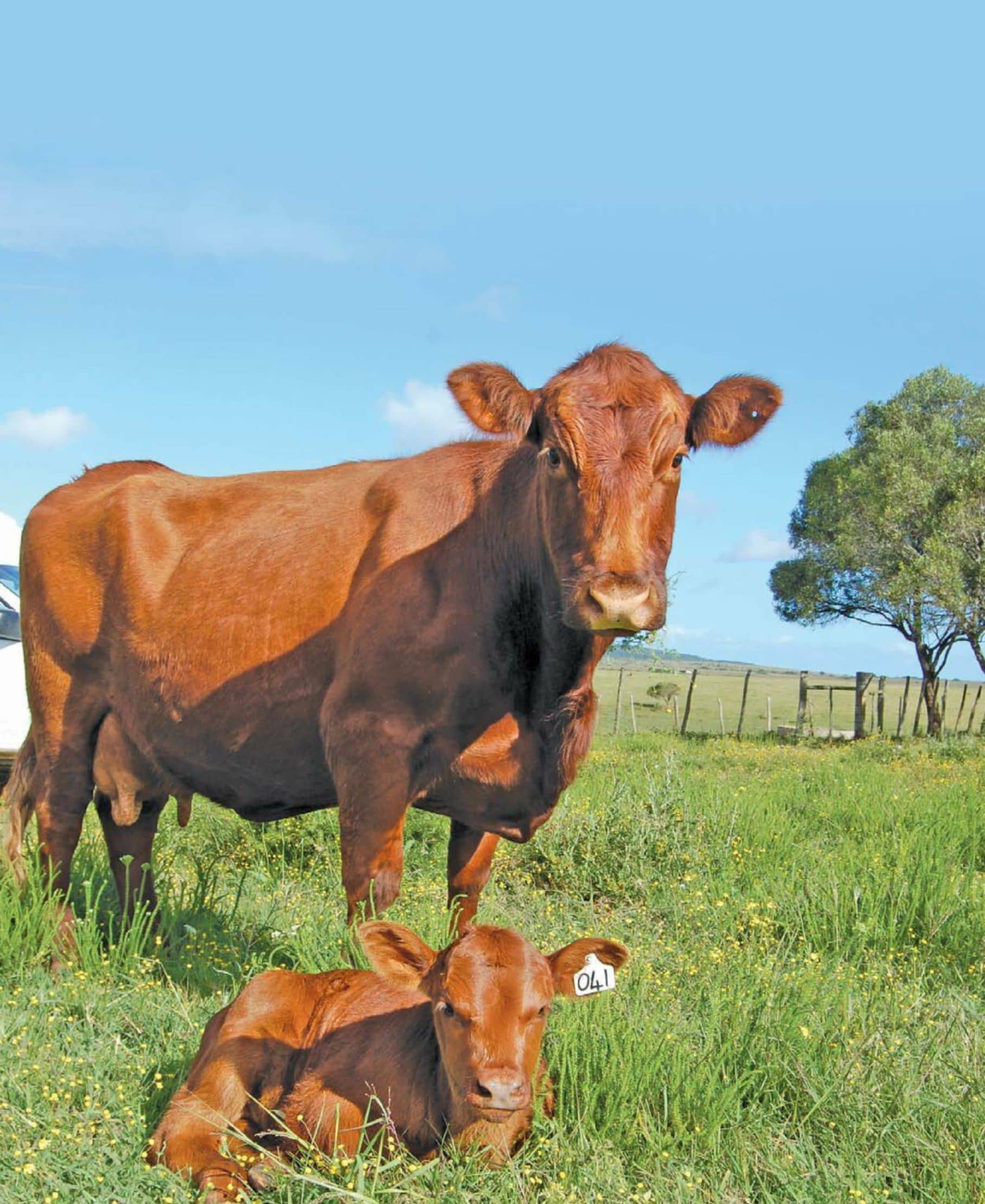Extending Artificial Insemination To Beef Cattle