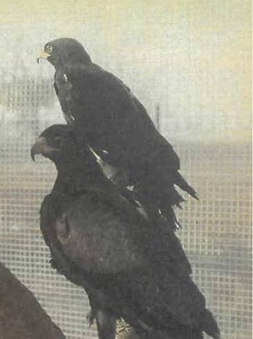 Landowners Help Conserve Birds Of Prey