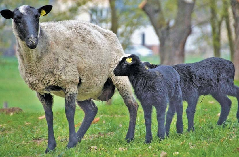 The Basics Of The Suffolk Breed
