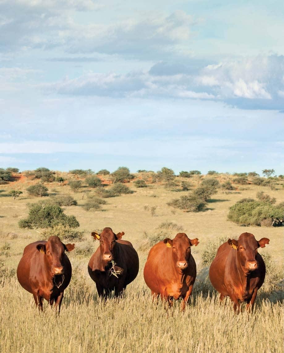 Maximising efficiency against heat stress in cattle