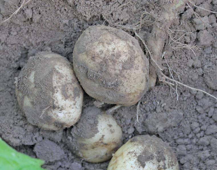 Growing potatoes: Part 3
