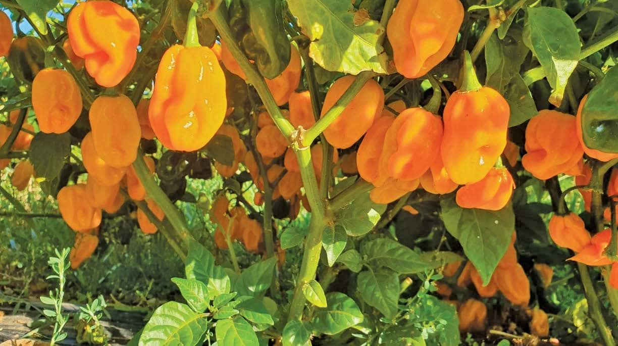 Chillies: A Hot Crop If You Know What You're Doing