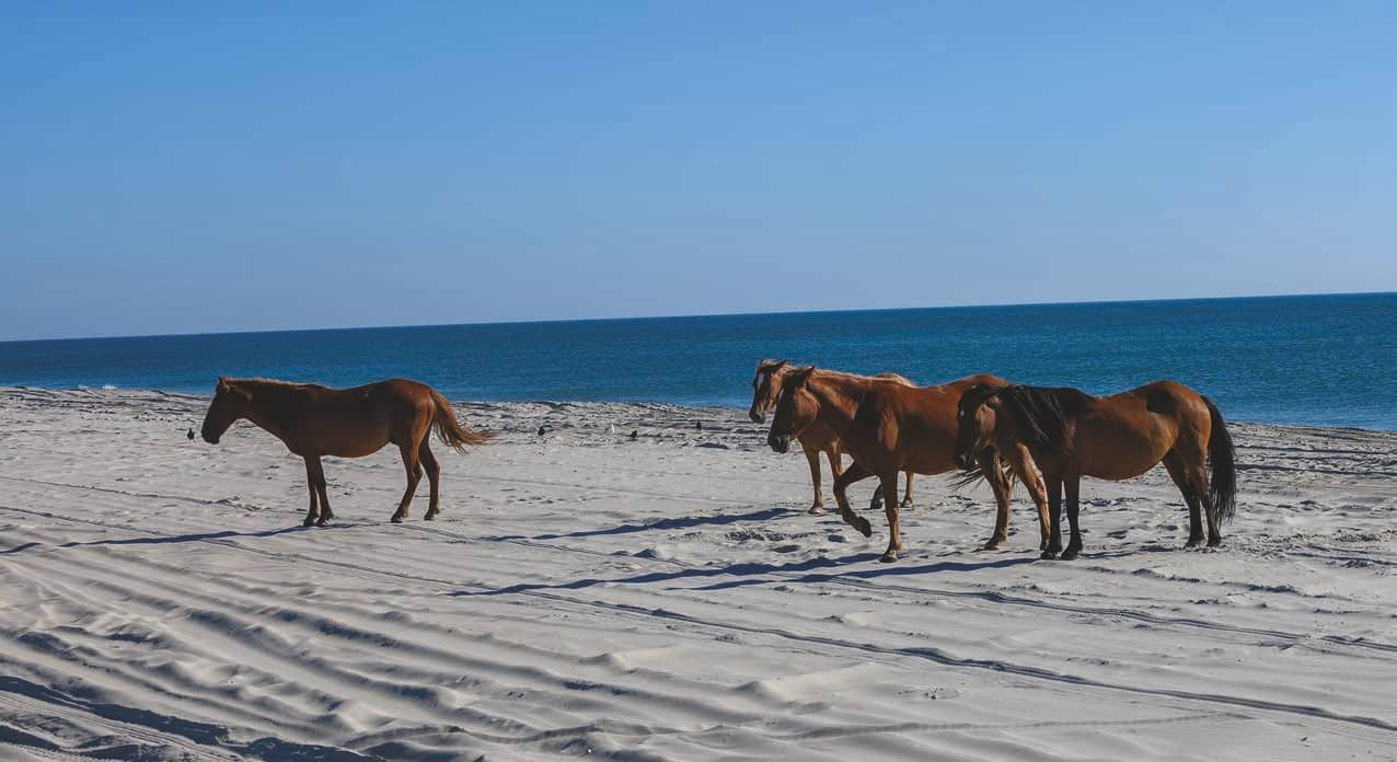 WILD MUSTANGS OF THE OUTER BANKS