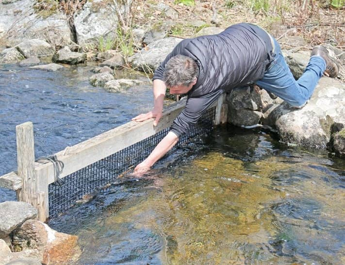 The alewives are running