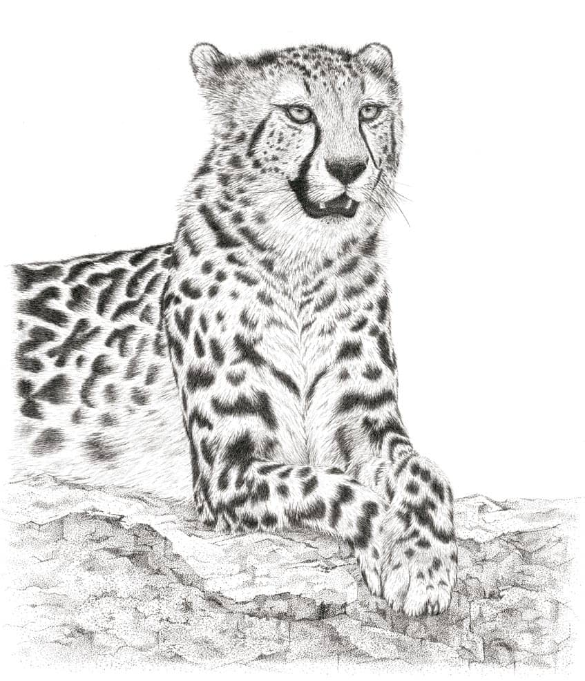 'Jama' – King Cheetah