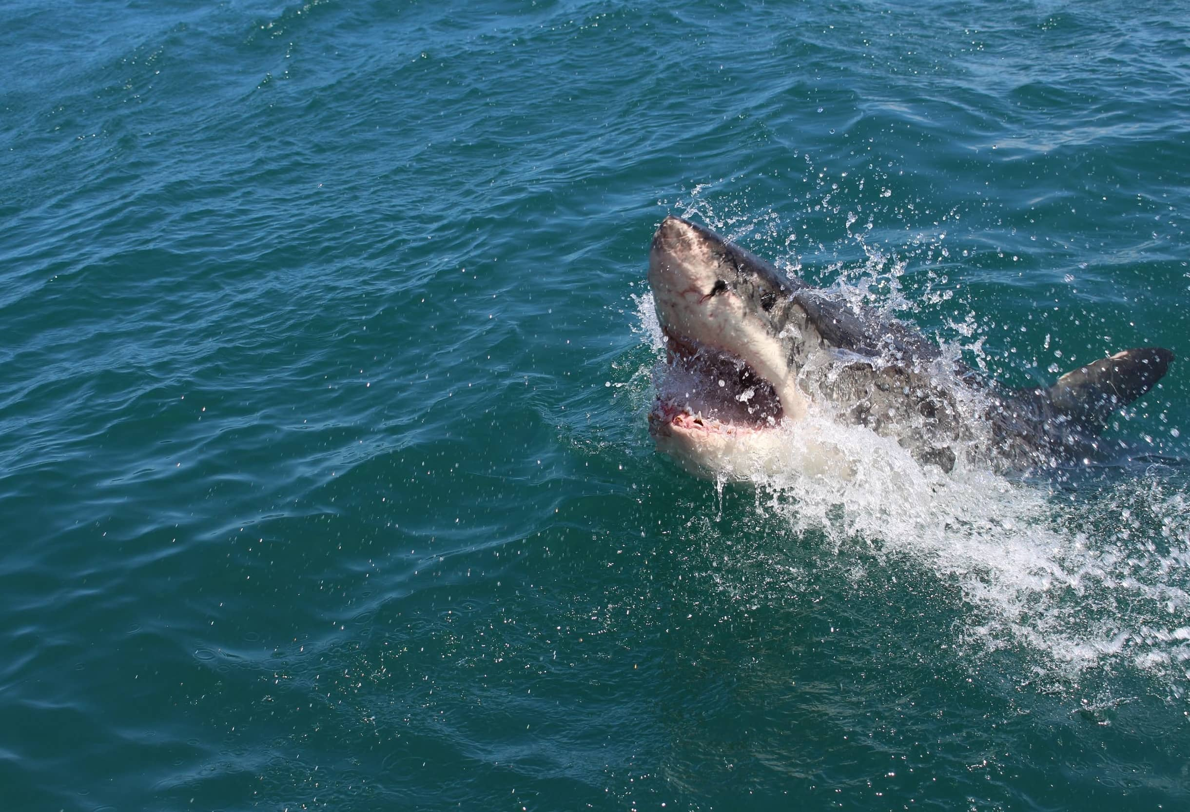 ENCOUNTER WITH A GREAT  WHITE