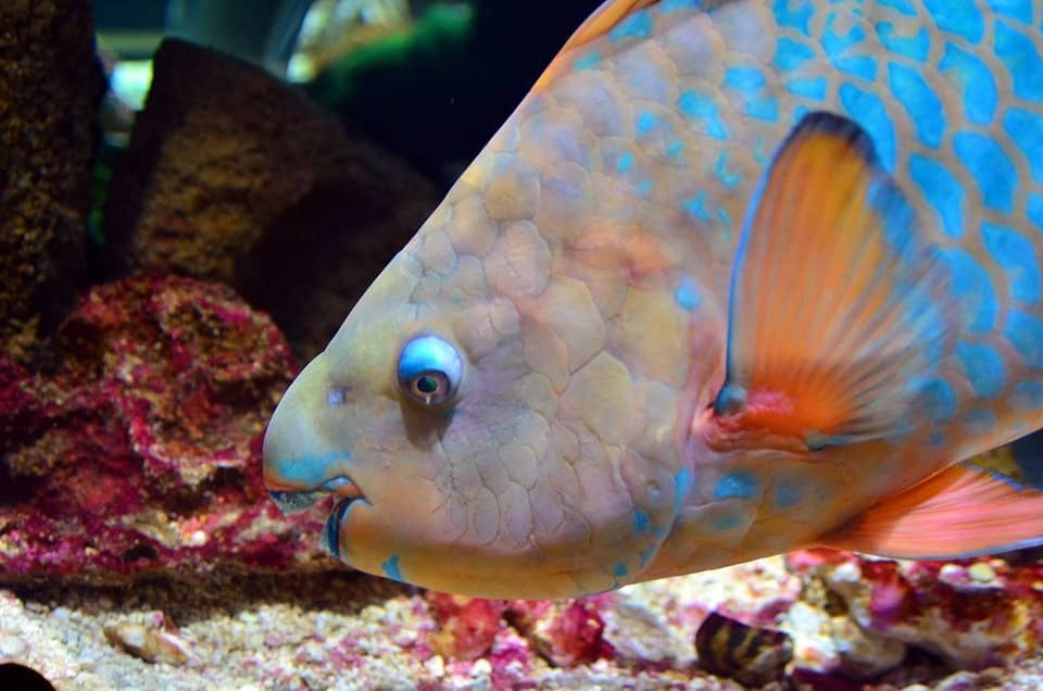 Parrot Fish – The large Herbivores of Sea helps to keep Coral Reef Healthy