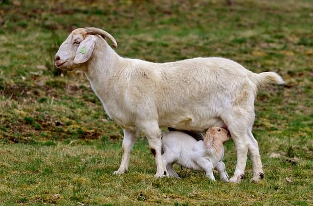 Why does goat milk is getting attention in case of dengue fever?