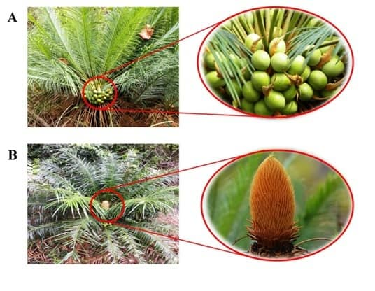 Cycas beddomei: A threatened living fossil of India
