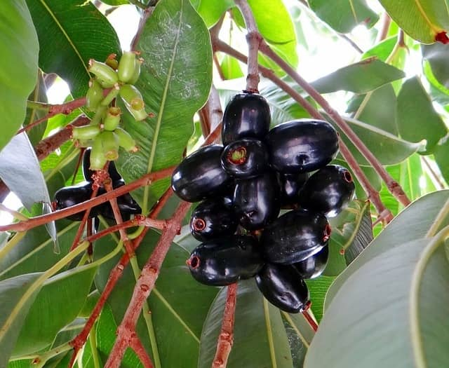 Jamun – A Fruit Rich in Therapeutic Phytochemicals