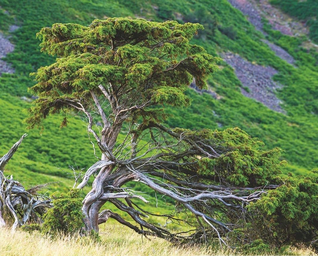 The return of the juniper