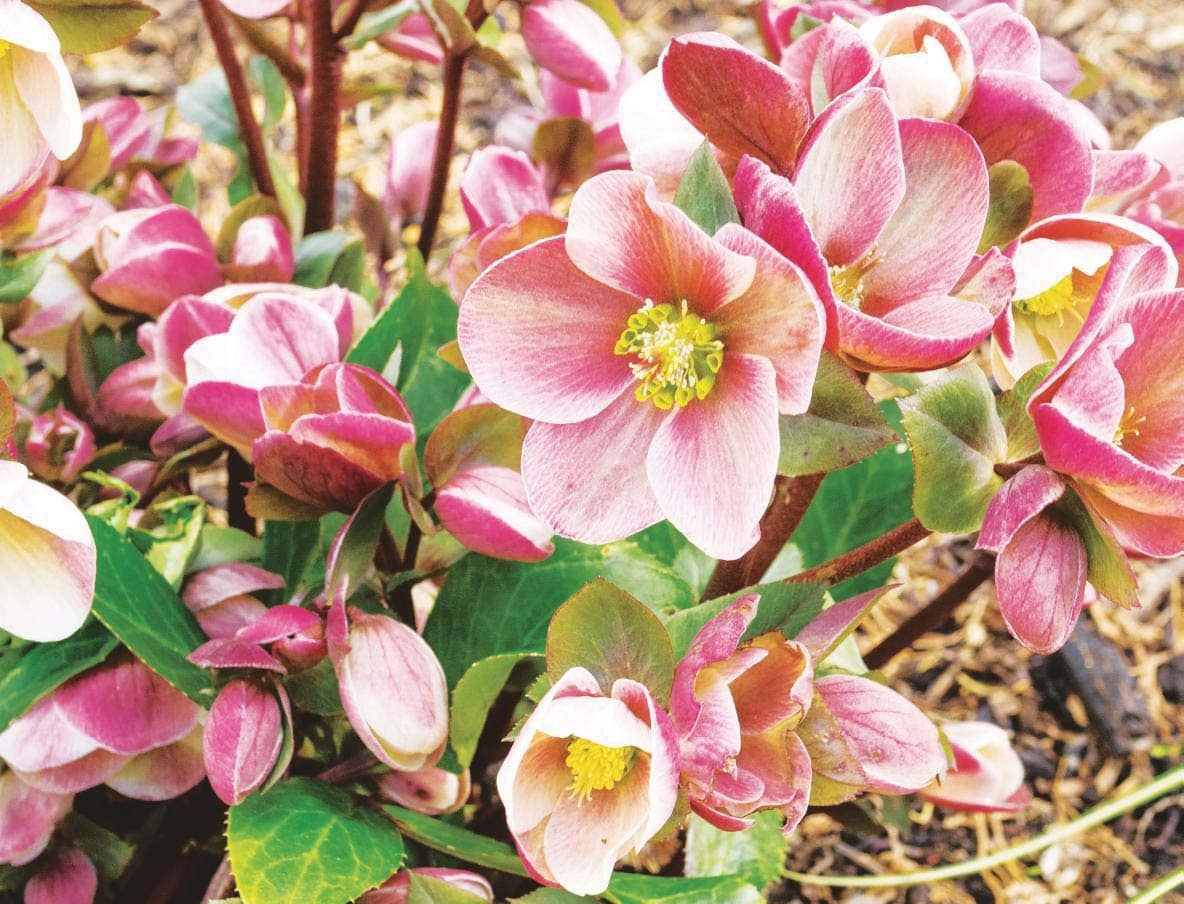 How To Grow...Hellebores