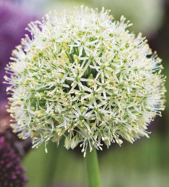For trans-seasonal colour, try Adaptable alliums