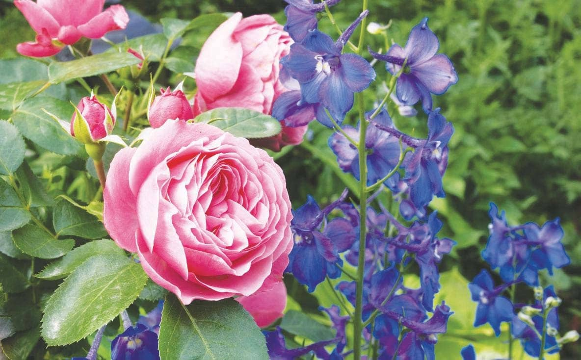 What to plant with roses