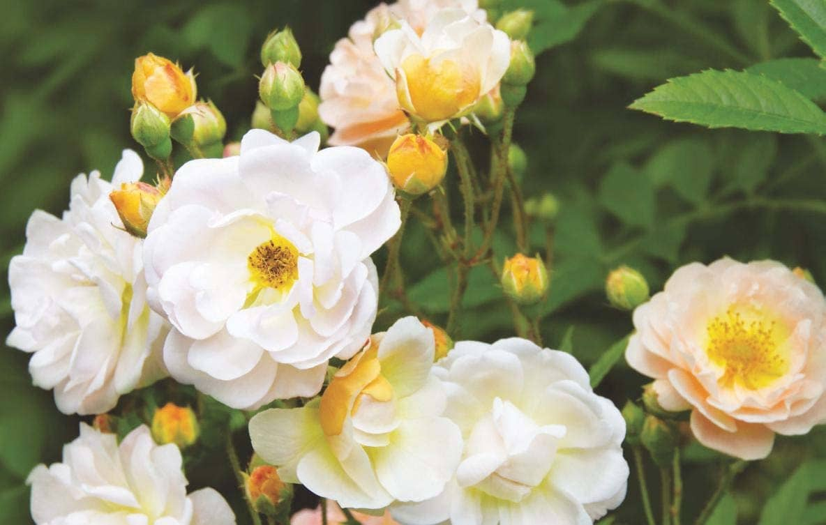 Is it time to rethink Rambler roses?