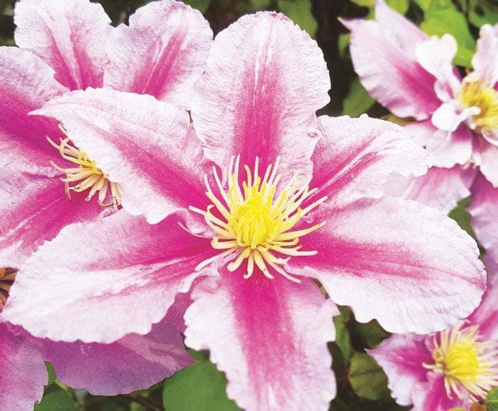 Dealing with clematis wilt