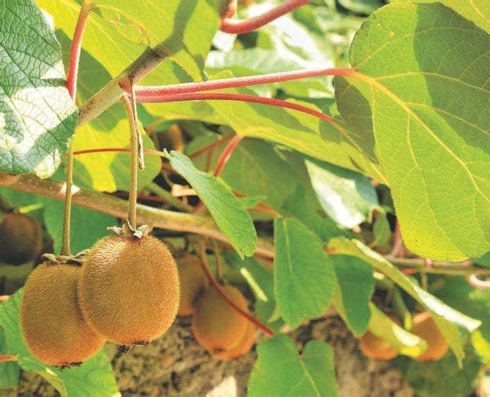 Fresh fruit all winter
