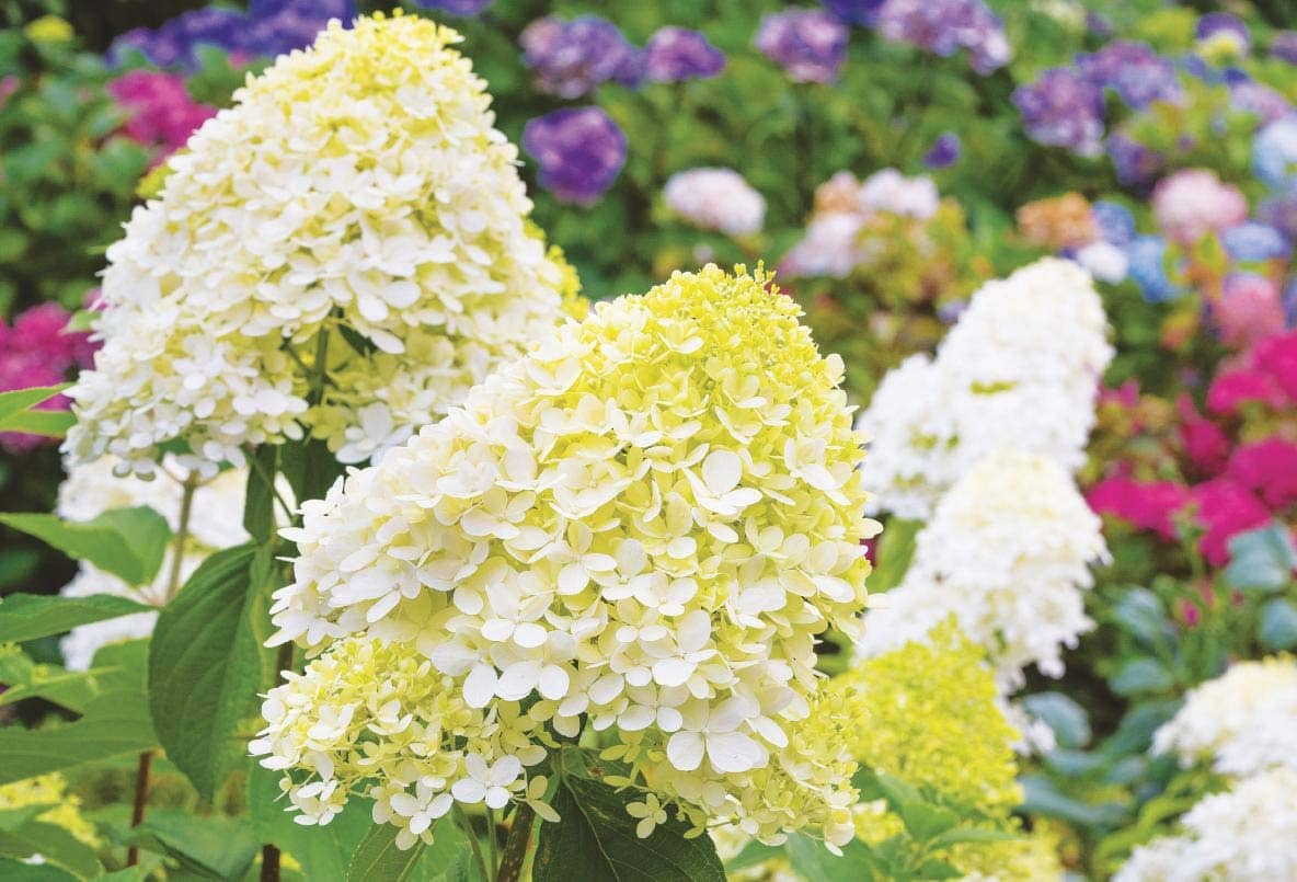 Lacy and lovely PeeGee hydrangeas