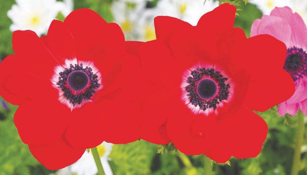 Spring anemones:For a carpet of colour, plant