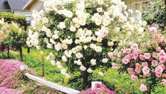 Cluster-flowered roses