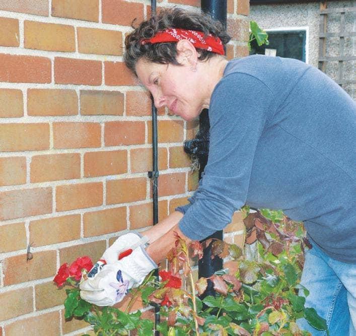 Care of roses in autumn