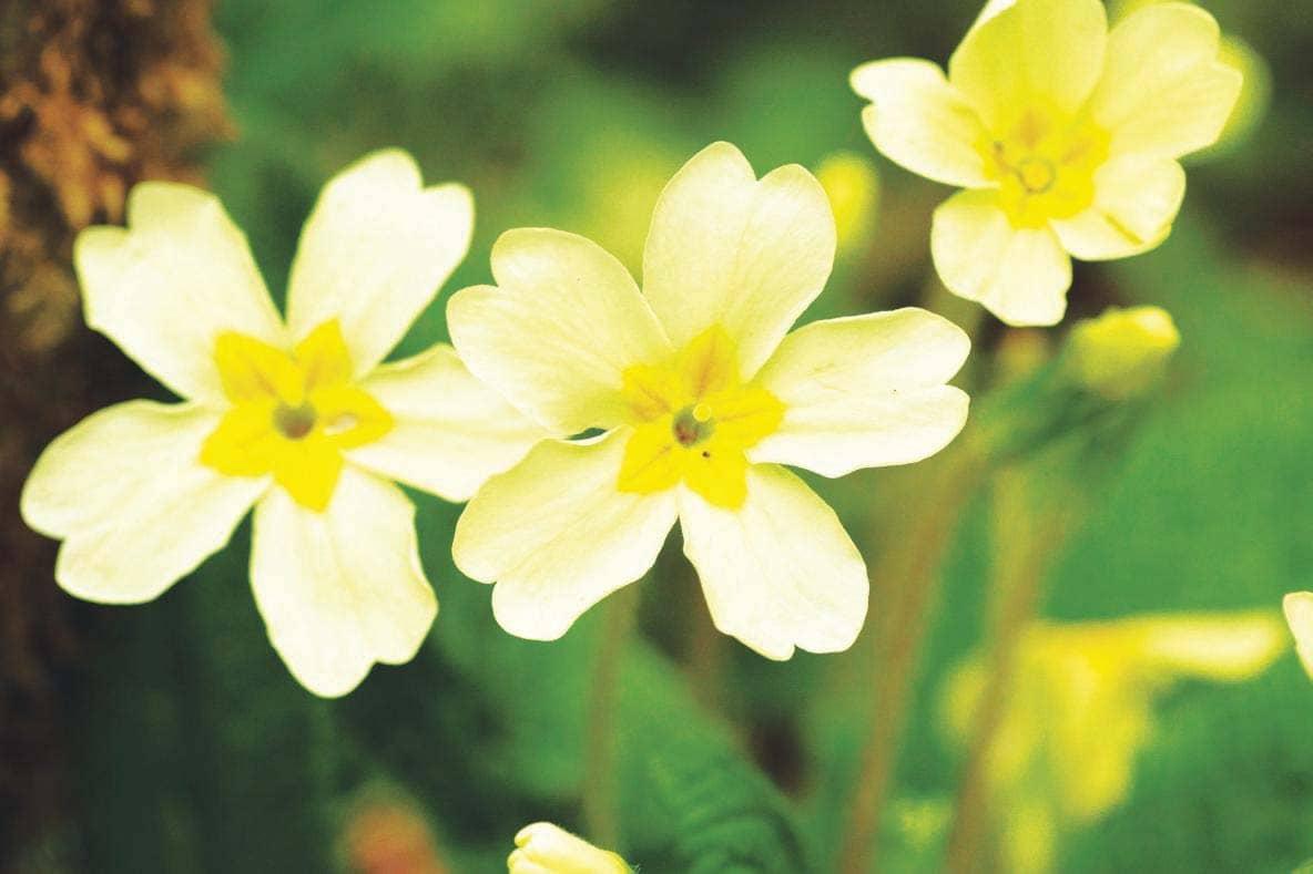 Enjoy Early Spring Blooms Withthe Prettiest Primroses